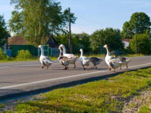 gooses-crossing-road